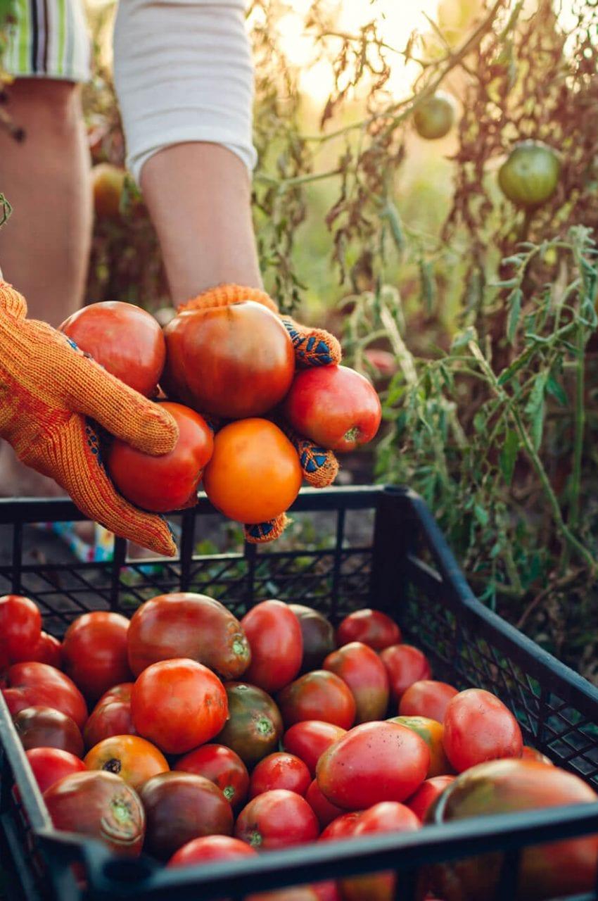 https://peninsulacanada.com/wp-content/uploads/2021/05/Agro-Culture-Tomatoes-850x1280.jpeg